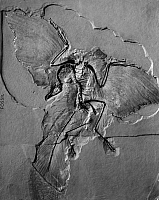 0172925 © Granger - Historical Picture ArchiveFOSSIL: ARCHAEOPTERYX.   Cast of a fossilized Archeopteryx of the Jurassic period.