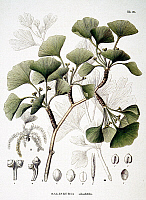 0039443 © Granger - Historical Picture ArchiveGINKGO, 1835.   Ginkgo (Salisburia adianthifolia). Lithograph from