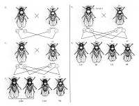 0044578 © Granger - Historical Picture ArchiveMORGAN: FRUIT FLIES.   Diagram of observations made by Thomas Hunt Morgan (1866-1945) illustrating his white-eye experiments with fruit flies.