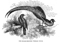 0079678 © Granger - Historical Picture ArchiveSEXUAL DIMORPHISM.   The Broad-shafted Whida Finch 'Vidua paradisea,' the male of which exhibits a spectacular display of tail feathers. Wood engraving, English, 19th century.