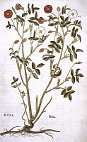 0022907 © Granger - Historical Picture ArchiveROSE, 1542.  Illustration from Swiss 'Herbal De Historia Stirpium' by Leonhart Fuchs, published at Basel in 1542.