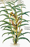 0023289 © Granger - Historical Picture ArchiveCORN (ZEA MAYS), 1542.   Earliest European depiction of corn, woodcut from Leonhard Fuchs' 'De Historica Stirpium'.