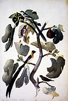 0023292 © Granger - Historical Picture ArchiveFIG (FICUS CARICA).   Watercolor from Jacopo Ligozzi's herbal, late 16th century.