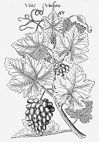 0027881 © Granger - Historical Picture ArchiveBOTANY: GRAPES, 1612.   Copper engraving from Emanuel Sweerts' 'Florilegium, Frankfurt am Main.'