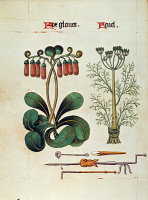 0031379 © Granger - Historical Picture ArchiveFOXGLOVE AND FENNEL, c1515.   Foxglove (Digitalis purpurea) at left and fennel (Foeniculum vulgare) at right: ms. illumination, c1515, from an English herbal.