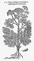 0034761 © Granger - Historical Picture ArchiveBOTANY: FENNEL, 1597.   A variety of fennel, Panax asclepium, referred to as 'all-heal.' Woodcut, 1597, from John Gerard's 'Herball.'