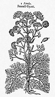0034762 © Granger - Historical Picture ArchiveBOTANY: GIANT FENNEL, 1597.   Ferual persica, a source of asafetida which is used medicinally as an anti-spasmodic. Woodcut from John Gerard's 'Herball.'