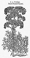 0034763 © Granger - Historical Picture ArchiveBOTANY: FENNEL, 1597.   'Small' giant fennel (Ferula ferulago). Woodcut from John Gerard's 'Herball.'