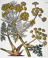0034767 © Granger - Historical Picture ArchiveHERBAL: FENNEL, 1819.   Giant fennel (Ferula persica), a source of asafetida which is used medicinally as an anti-spasmodic: English engraving, 1819.