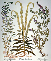 0034770 © Granger - Historical Picture ArchivePENNYROYAL AND MINT, 1613.   Peppermint (Mentha cervina); weld (Reseda luteola), a European mignonette yielding yellow dye; and pennyroyal (Mentha pulegium), used for medicinal purposes. Engraving for Basilius Besler's