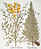 0039872 © Granger - Historical Picture ArchiveCYPRESS, 1613.   Spanish broom (Spartium junceum) and Italian cypress (Cupressus sempervirens): engraving for Basilius Besler's