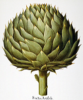 0039953 © Granger - Historical Picture ArchiveARTICHOKE, 1613.   Italian artichoke head (Cynara scolymus): engraving from Basilius Besler's