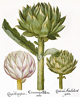 0039954 © Granger - Historical Picture ArchiveARTICHOKE, 1613.   Artichoke heads (Cynara scolymus): engraving from Basilius Besler's