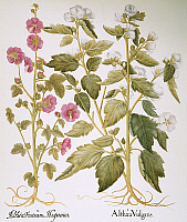 0044780 © Granger - Historical Picture ArchiveMALLOW, 1613.   Vervain mallow (Malva alcea), left, and marsh mallow (Althaea officinalis): engraving for Basilius Besler's 'Florilegium,' published at Nuremberg in 1613.