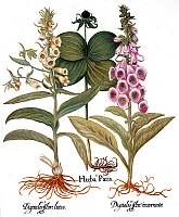 0045942 © Granger - Historical Picture ArchiveFOXGLOVE AND HERB PARIS.   From left to right: yellow foxglove (digitalis flore luteo), herb paris (herba paris) and common pink foxglove (digitalis flore incarnato), from Besler's Florilegium, 1613, Nuremberg.