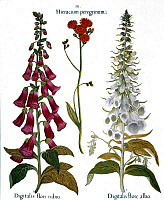 0045943 © Granger - Historical Picture ArchiveFOXGLOVE AND HAWKWEED.   From left to right: common pink foxglove (digitalis flore rubro), orange hawkweed (compositae) and white foxglove (digitalis flore albo), from Besler's Florilegium, 1613, Nuremberg.