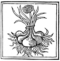 0049945 © Granger - Historical Picture ArchiveBOTANY: ONION, 1482.   Illustration of onions (Allium cepa) from 'De Viribus Herbarum' by Macer Floridus. Woodcut, Italian.
