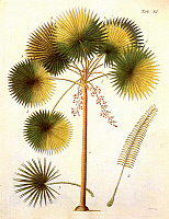 0064860 © Granger - Historical Picture ArchiveFAN PALM   (Livistona rotundifolia). Colored engraving by P. Haas, from Friedrich Gottlieb Hayne's 'Termini Botanici Iconibus illustrati', Berlin, 1799-1812.