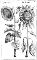 0068084 © Granger - Historical Picture ArchiveSUNFLOWERS.   Helianthus. Engraving from  Emanuel Sweerts'