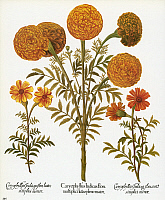 0068378 © Granger - Historical Picture ArchiveMARIGOLDS, 1613.   Multiflorous Aztec marigold, or African marigold, with French marigolds on either side. Engraving for Basilius Besler's