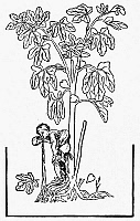 0076444 © Granger - Historical Picture ArchiveFIG TREE, 16th CENTURY.   Woodcut, France.