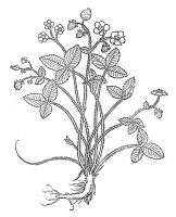 0079369 © Granger - Historical Picture ArchiveSTRAWBERRY   (Fragaria vesca). Woodcut from Leonhard Fuchs' 'De Historia Stirpium', published at Basel in 1542.