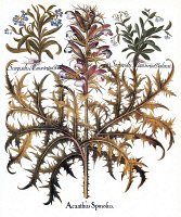 0079838 © Granger - Historical Picture ArchiveFORGET-ME-NOT & ACANTHUS.   Wild blue forget-me-not (top left), spiny acanthus (center), and wild pale blue forget-me-not (top right). Engraving from Basilius Besler's 'Florilegium,' published at Nuremberg in 1613.