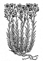 0081951 © Granger - Historical Picture ArchiveTHIN-LEAFED FLAX, 1597.   Woodcut, 1597, from John Gerard's 'Herball.'