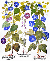 0087777 © Granger - Historical Picture ArchiveBLUEBELL AND MORNING GLORY.   Common morning glory (Convolvulaceae), Bluebell (Campanulaceae) and Imperial morning glory (Convolvulaceae). Engraving for Basilius Besler's 'Florilegium,' published in Nuremberg, Germany, in 1613.