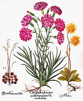 0089280 © Granger - Historical Picture ArchiveBOTANY: FLOWERS, 1613.   Round-leaved sundew (Droseraceae), Florist's carnation (Caryophyllaceae) and Arnica (Compositae).