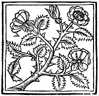 0090899 © Granger - Historical Picture ArchiveBOTANY: ROSE, 1503.   Woodcut from 'De Viribus Herbarum,' by Macer Floridus, published at Paris, 1503.