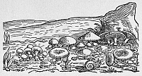 0090912 © Granger - Historical Picture ArchiveBOTANY: FUNGI, 1560.   Woodcut, 1560, from Mattioli's 'Commentarii.'