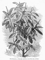 0091012 © Granger - Historical Picture ArchiveBOTANY: FICUS ELASTICA.   Wood engraving, 19th century.