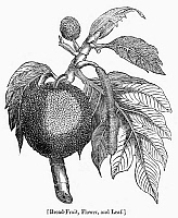 0091026 © Granger - Historical Picture ArchiveBOTANY: BREADFRUIT TREE.   Flower and leaf of the breadfruit tree. Wood engraving, 19th century.