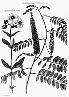 0113029 © Granger - Historical Picture ArchiveCATALOGUS PLANTARUM, 1730.   Broad leaved gum Cistus and False Indigo. Engraving by Henry Fletcher after a drawing by Jacob van Huysum, from 'Catalogus Plantarum,' London, 1730.