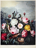 0120987 © Granger - Historical Picture ArchiveTHORNTON: ROSES.   A pair of nightingales and roses (Rosa centifolia L. and Rosa hemisphaerica J. Herrm.). Engraving by Richard Earlom after a painting by Robert John Thornton for 'The Temple of Flora,' 1805.