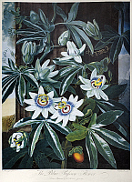 0121047 © Granger - Historical Picture ArchiveTHORNTON: PASSION-FLOWER.   'The Blue Passion-Flower' (Passiflora caerulea L.). Engraving by Caldwall after a painting by Philip Reinagle for 'The Temple of Flora,' by British botanist Robert John Thornton, 1800.