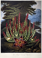 0121057 © Granger - Historical Picture ArchiveTHORNTON: STAPELIA.   The Maggot-Bearing Stapelia (Stapelia hirsuta L.). Engraving by Joseph Constantine Stadler after a painting by Peter Henderson for 'The Temple of Flora,' by Robert John Thornton, 1801.