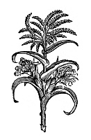 0126547 © Granger - Historical Picture ArchiveNEW SPAIN: CORN, 1651.   Woodcut from an edition of 'Nova plantarum animalium mexicanorum historia' by Francisco Hernandez, published in Rome, 1651. The book describes the flora and fauna of New Spain.