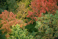 0163143 © Granger - Historical Picture ArchiveMINNESOTA: FOLIAGE.   Autumn foliage in a Minnesota forest. Photographed c1974.