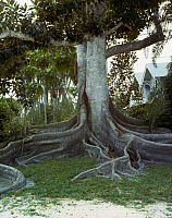 0165781 © Granger - Historical Picture ArchiveFICUS TREE.   Ficus macrophylla tree on the grounds of Thomas Edison's winter estate in Fort Myers, Florida. Photograph, late 20th century.