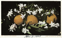 0526795 © Granger - Historical Picture ArchivePOSTCARD: ORANGES, c1905.   Oranges and blossoms. Chromolithograph, c1905.