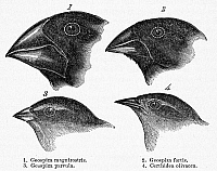 0004656 © Granger - Historical Picture ArchiveDARWIN: GALAPAGOS FINCHES.   The page from a 19th century edition of Charles Darwin's Journal of Researches, wherein the gradation in the size of the beaks of the Galapagos finches is noted.