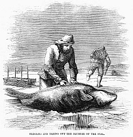 0096258 © Granger - Historical Picture ArchiveCANADA: SEAL HUNTING, 1867.   Skinning and taking out the blubber of the seal. Wood engraving, American, 1861.