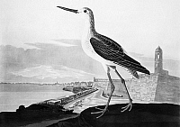 0076949 © Granger - Historical Picture ArchiveAUDUBON: GREENSHANK.   Common Greenshank (Tringa nebularia, formerly Totanus glottis). Aquatint engraving, 1830s, after John James Audubon for his 'Birds of America,' including a view of St. Augustine and Fort Marion, Florida.