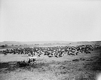 0107482 © Granger - Historical Picture ArchiveCATTLE HERD, c1905.   Large herd of cattle on a western range, probably in Colorado or Utah. Photograph by Francis Marion Steele, c1905.