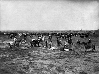 0107486 © Granger - Historical Picture ArchiveBRANDING CATTLE, c1905.   'Branding Mavericks.' Five cattle being branded in Colorado or Utah. Photograph by Francis Marion Steele, c1905.