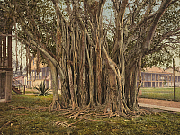 0113601 © Granger - Historical Picture ArchiveFLORIDA: RUBBER TREE, c1900.   Rubber tree in the U.S. Army barracks at Key West, Florida. Photochrome, c1900.