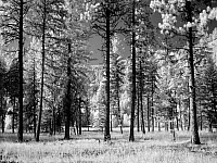0128446 © Granger - Historical Picture ArchiveMONTANA: FOREST, 2005.   A forest of pine trees in Montana. Photograph by Carol M. Highsmith, January 2005.