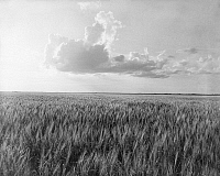 0183808 © Granger - Historical Picture ArchiveOKLAHOMA: WHEAT, 1937.   A wheat field in Oklahoma. Photograph by Dorothea Lange, 1937.